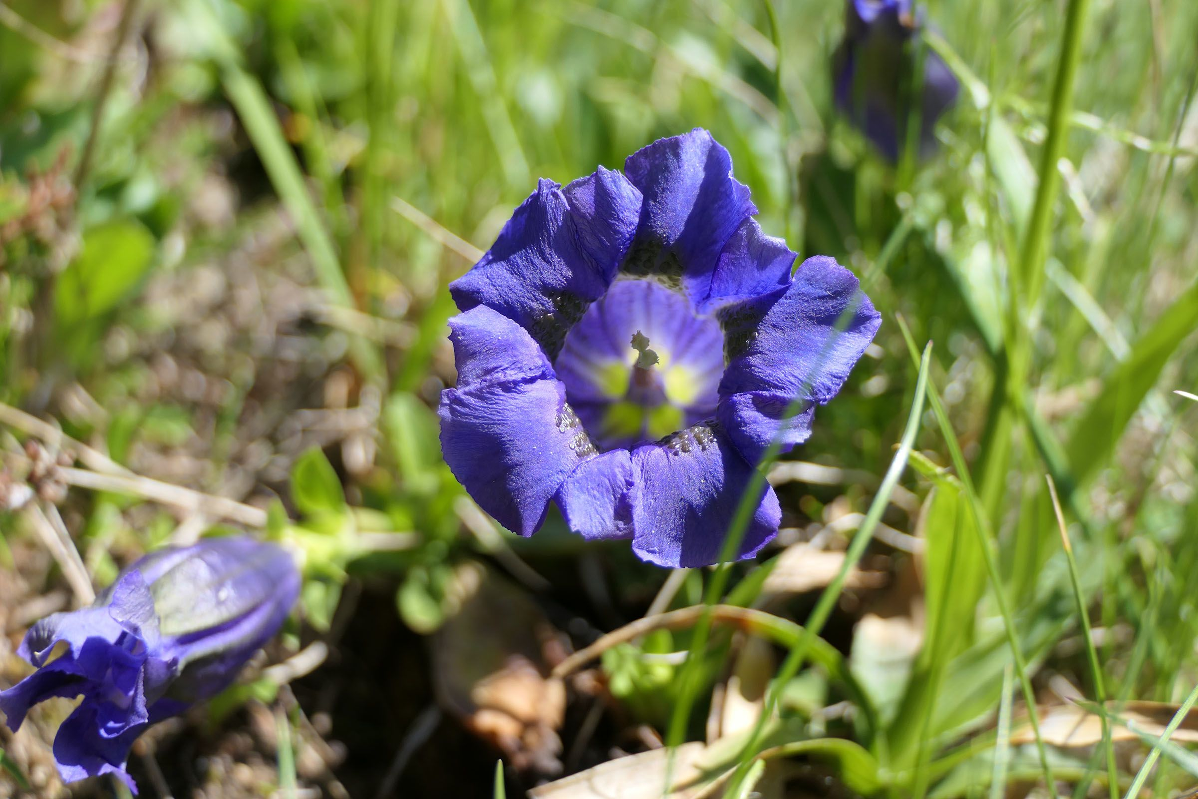 Blume im Großarltal